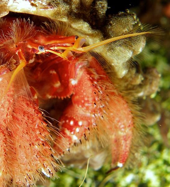Hermit crab up close