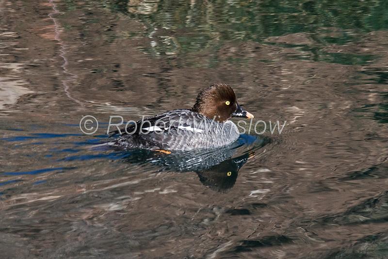 Common Goldeneye, Bucephala clangula, female, La Plata County, Colorado, USA, North America