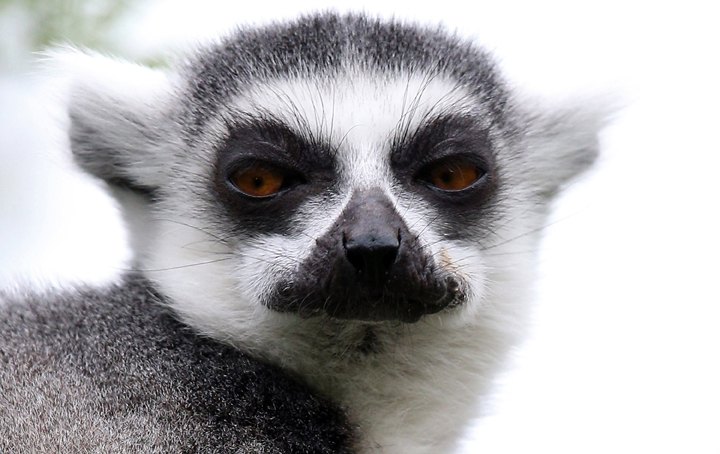 . A ring-tailed lemur at Bristol Zoo Gardens on May 22, 2013 in Bristol, England.(Photo by Matt Cardy/Getty Images)