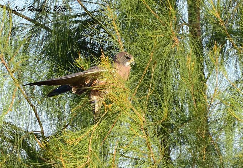 Swainson's Hawk - 3/15/2015 - Borrego Springs, Borrego Valley Rd
