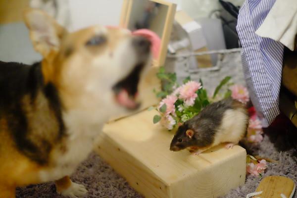 Ron i Pan szczur