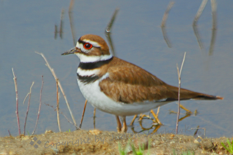 Killdeer ~ This Killdeer was photographed at San Jacinto Wildlife Area last Sunday.  I've seldom been able to get this close to them; using my car as a blind, I shot directly from the driver's side window.