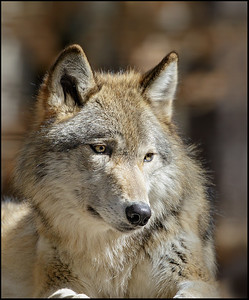 Wolf, Gray (Captive)