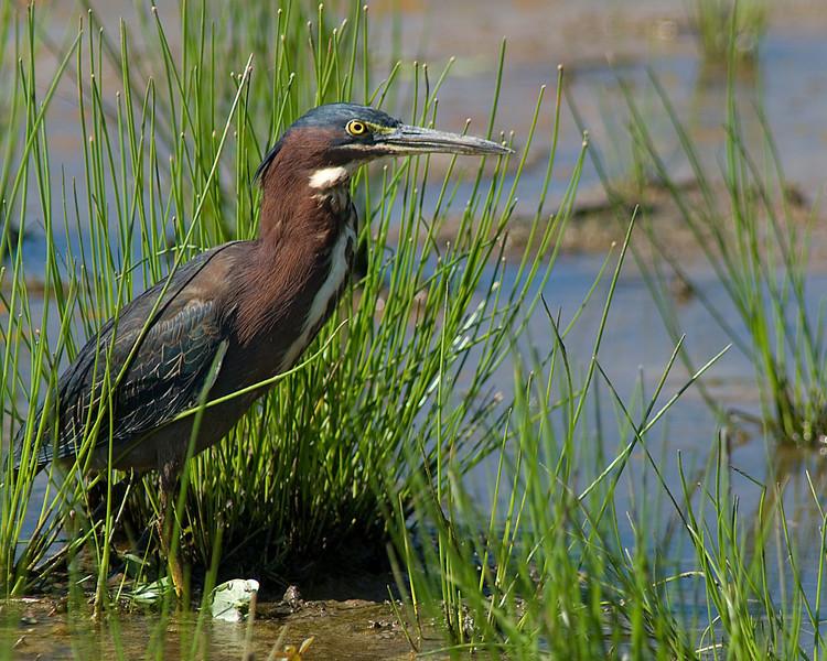 Green Heron  Huntley Meadows