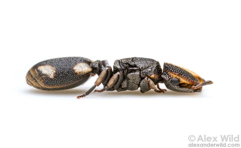 Cephalotes sp.