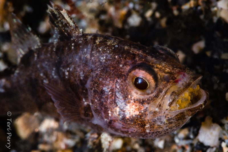 FISH - cardinalfish male with eggs in mouth-0477-Edit-Edit.jpg