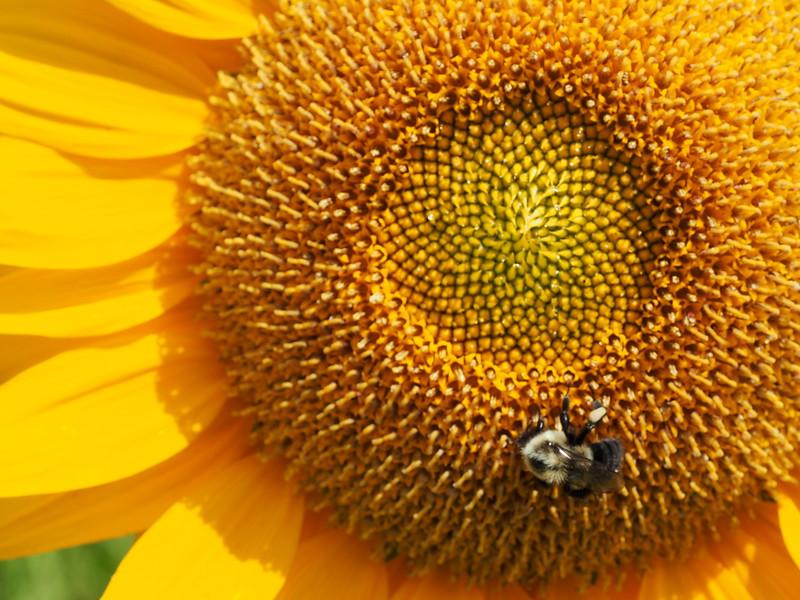 Gravity Hill sunflower bee.JPG