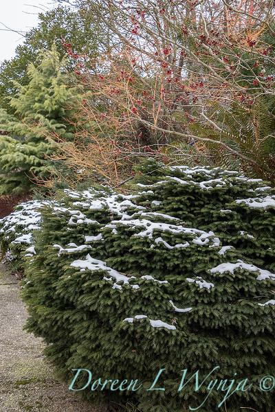 Picea abies 'Nidiformis'_6008.jpg