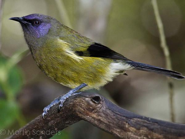 Bellbird - korimako