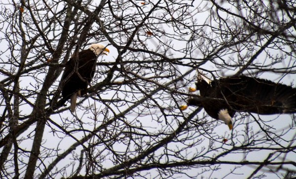 Eagles screeching.