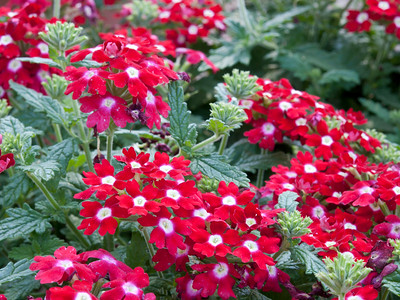 Verbena (spreading) - Fuego Red with White Eye