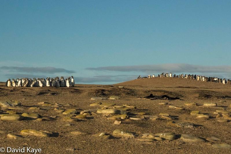 King penguin colonies