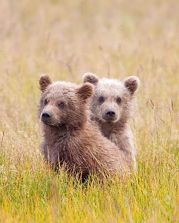 Alaska Brown Bears August 2014