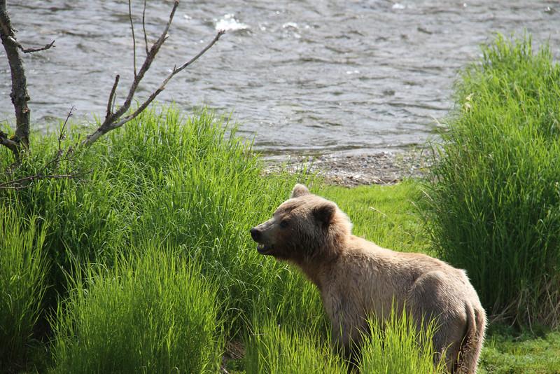 Katmai Bear4.jpg
