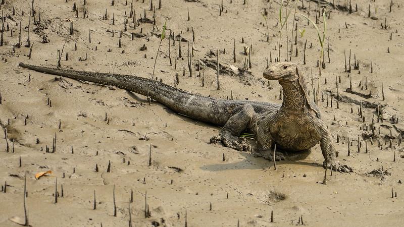 Water-monitor-lizard-sundarbans.jpg