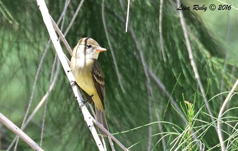 Willow Flycatcher?  - 5/26/2016 - Borrego Springs Roadrunner Club