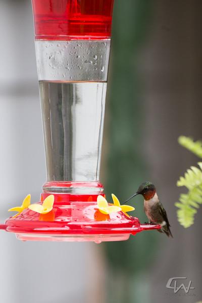 Hummingbird-1948-2.jpg