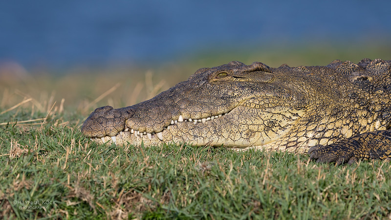 Nile Crocodile, Chobe River, NAM, Oct 2016-1.jpg