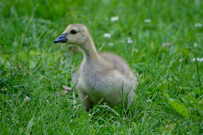 2020-05-20 Canada Geese