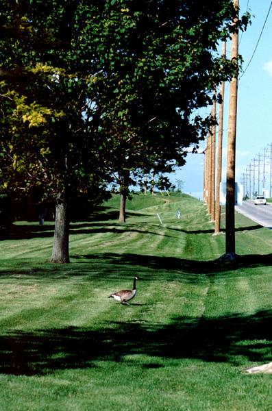 Lone Geese.jpg