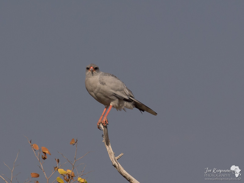 Pale Chanting Goshawk