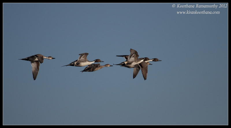 Northern Pintails, Robb Field, San Diego River, San Diego County, California, February 2012