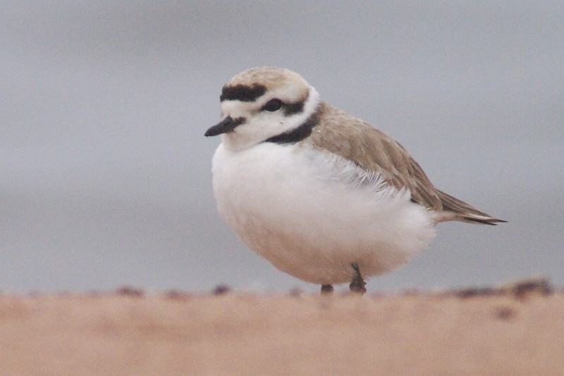 Snowy Plovers are a very rare visitor to Minnesota [May; Park Point, Duluth, Minnesota]