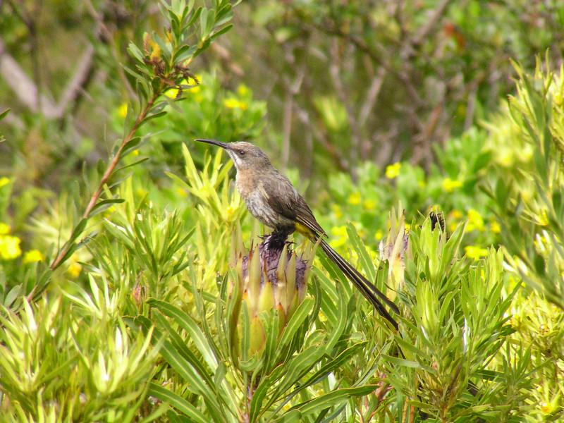 Cape Sugarbird(Promerops cafer)