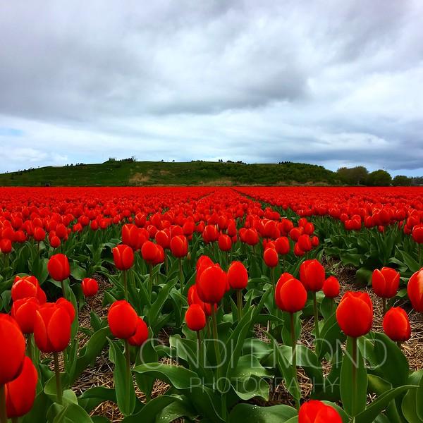 "37 ""Red Tulips"" IMG_1516.JPG"