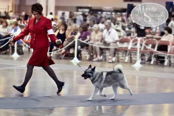2011 Houston Dog Show  Windy Cove - Riverwind Norwegian Elkhounds
