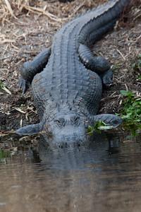 untitled20110202_Alligator MyakkaLakeFL_7I2B4371_11-02-02