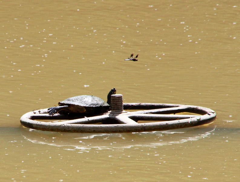 Turtle wheel and dragonfly