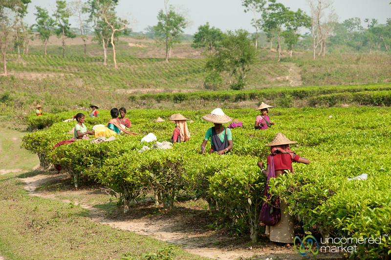Tea Pickers at Finlay Tea Estate - Srimongal, Bangladesh