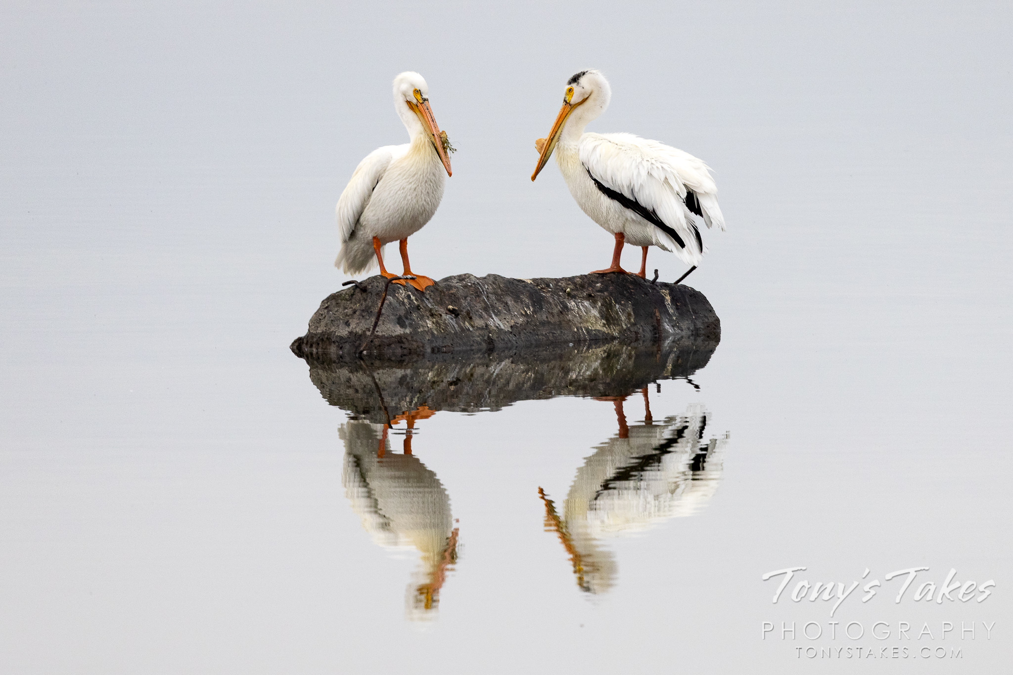 Pelicans perch with their reflections