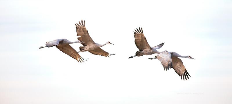 Monte Vista Sandhill Cranes
