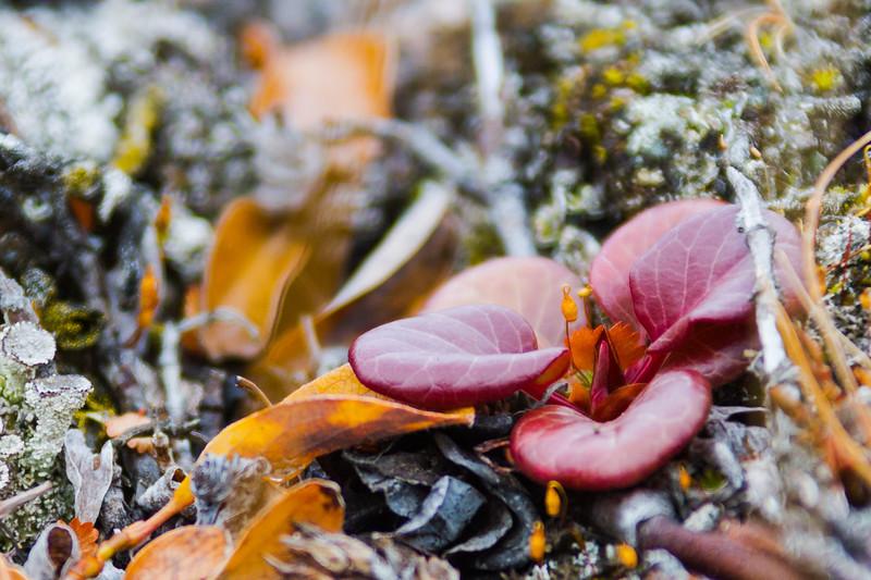 Large Flowered Wintergreen