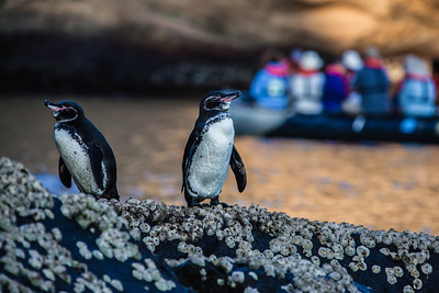 Galapagos Islands - Penguins & Dolphins 2012