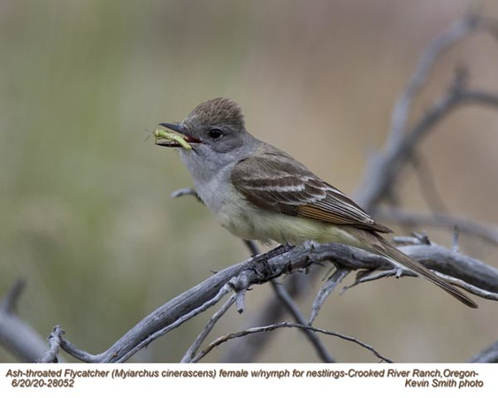 Ash-throated Flycatcher F28052.jpg