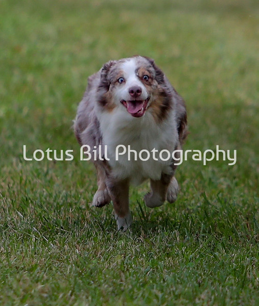 Red-Merle-2-Miniature-American-Shepherd-SR2
