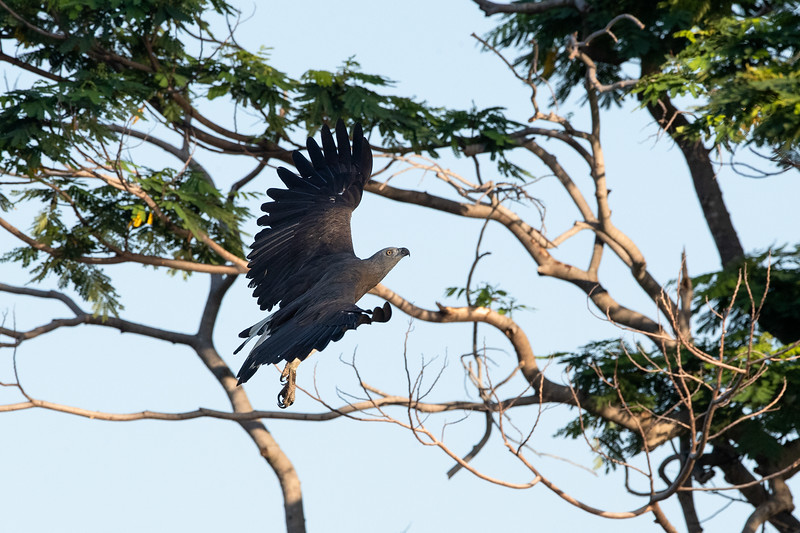 Grey-headed-Fish-Eagle_GL_1478.jpg