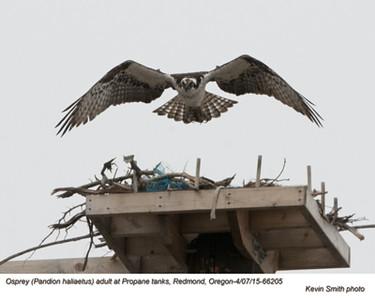 Osprey A66205.jpg