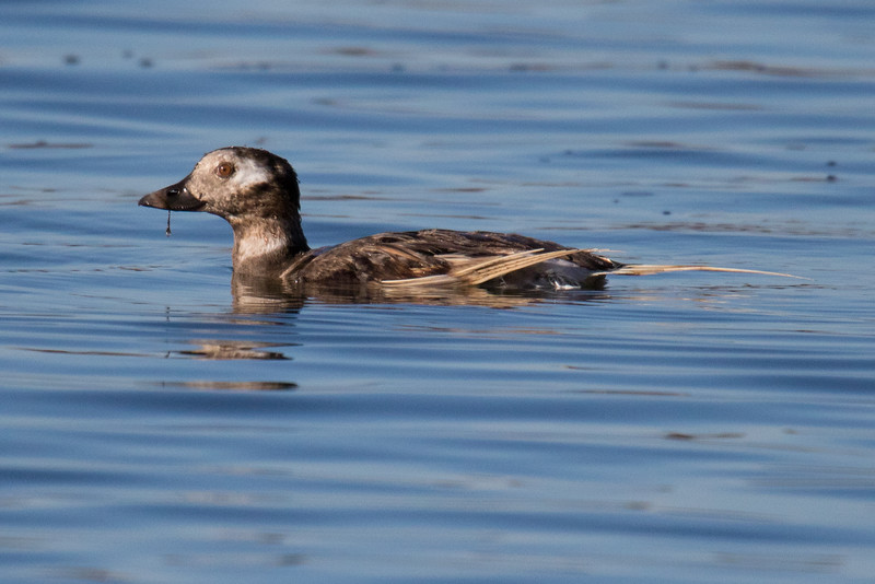 Long-tailed Duck-2.jpg