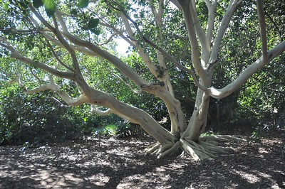 Fig Tree Area