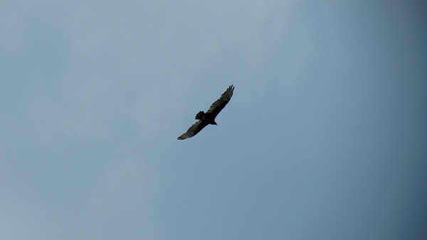 August 16:  A visitor flying overhead .  .  .