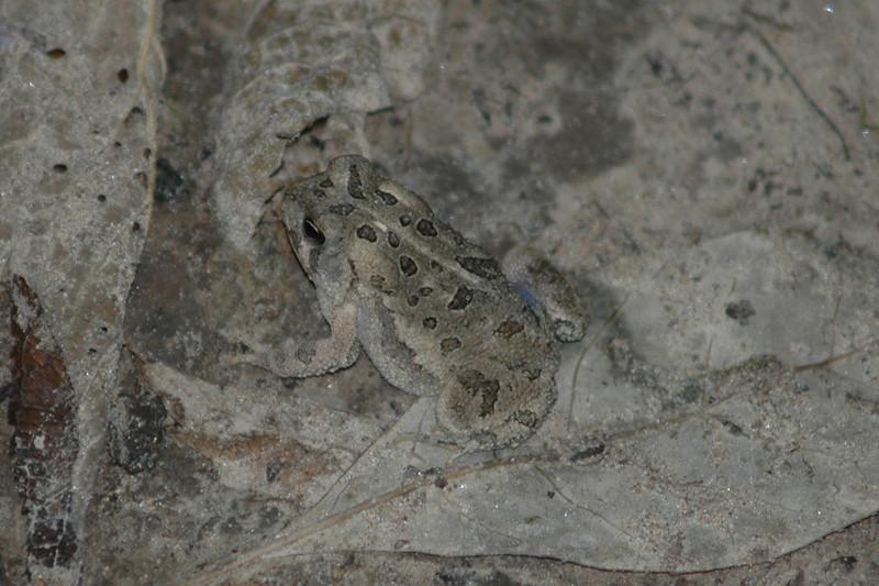 6096 Camo Frog.jpg