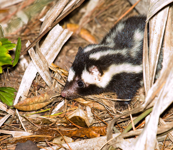 spotted skunk