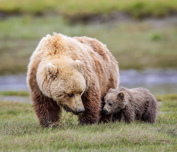 Lake Clark brown bears & Alaska