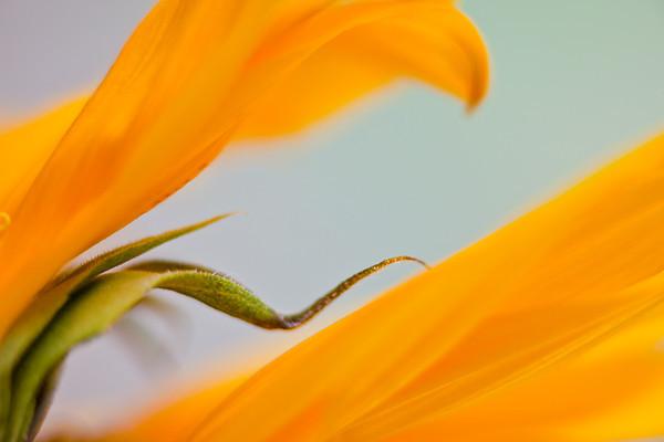 Sunflower Sunshine!