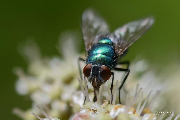 DIPTERA (ordem) Moscas e mosquitos