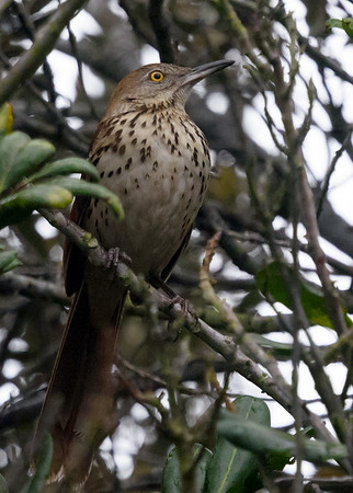 Brown Thrasher in Point Loma 3/10/2018